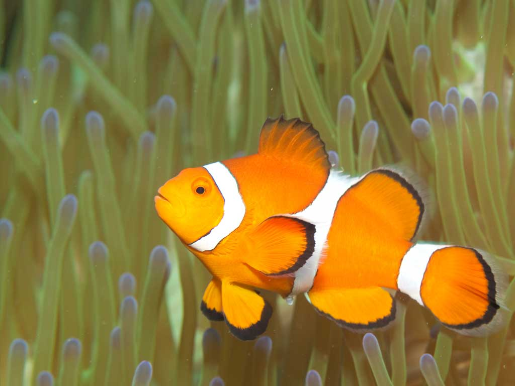 poisson-clown plongée plaisir